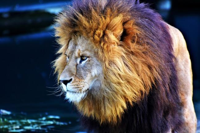 lion-3081374_1920
